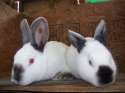 Quality Californian Rabbits for Sale