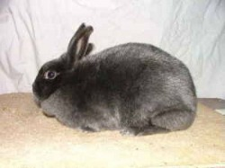 Male Satin Rabbits for Sale