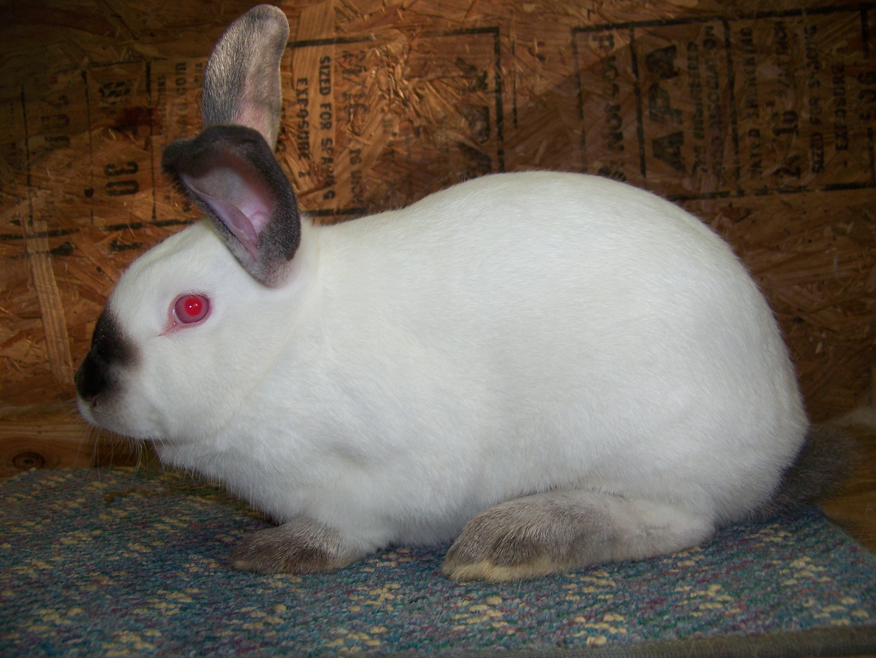 Champion Californian Rabbit