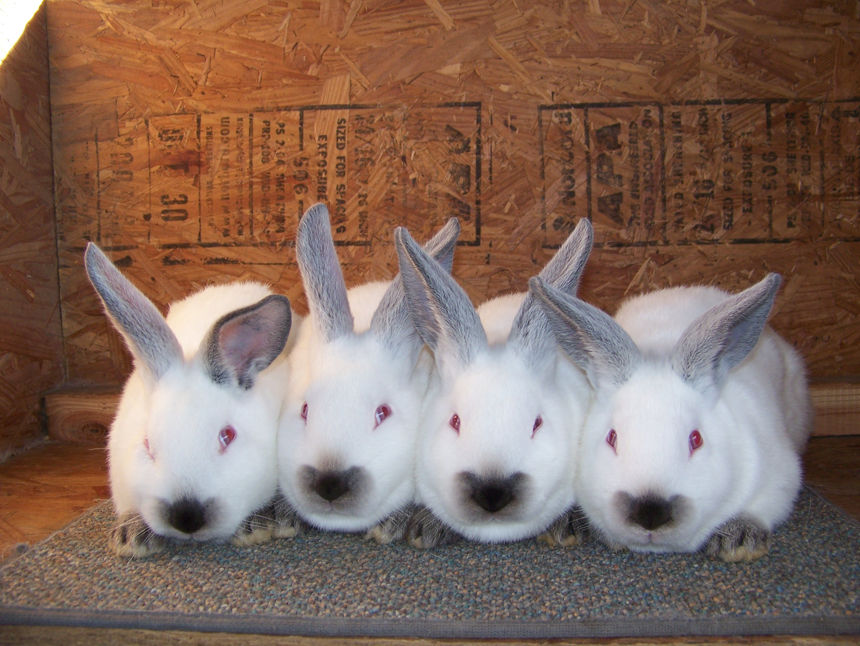sale meat rabbits for sale meat rabbits for sale meat rabbits for sale ...