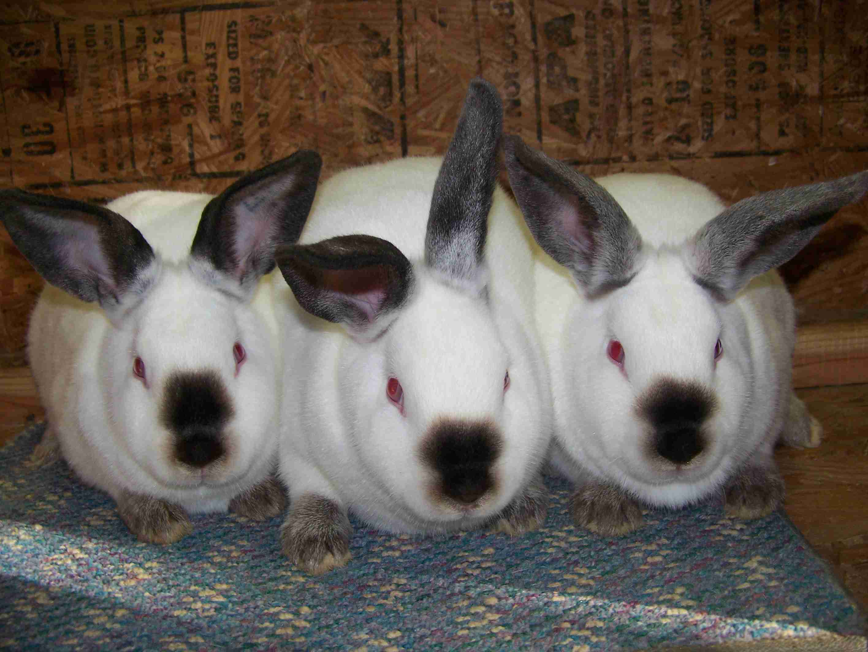 Three Californian Rabbits